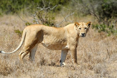 Lion étroit en parc national du Kenya Images stock