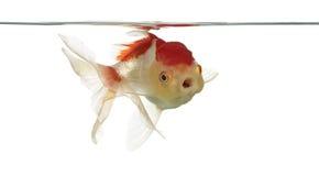 Lion& x27 επικεφαλής στόμα ανοίγματος goldfish του s στοκ εικόνες