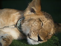 Lion 01. Young lion taking a nap Stock Photo