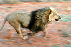 Lion 01 B. A Kalahari lion running. This was taken near the border between South Africa and Botswana, in the kalahari desert Royalty Free Stock Photo