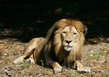 Lion 1 Stock Photography