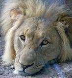 Lion 1 Stock Photo