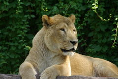 Lion. Lady laying outside on a rock Stock Photos