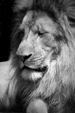 Lion. Portrait of a male lion seemingly deep in thought Royalty Free Stock Photos