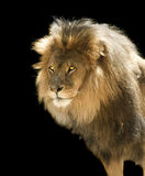 Lion. Male lion front half on black background stock photography