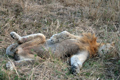 The lion. A great lion sleep in the grass Stock Photos