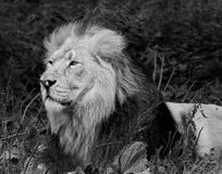 Lion. Mono of a male Lion royalty free stock photos