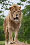 Lion. The male lion is standing on rock Stock Photo