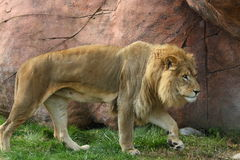 Lion. The lion is hunting for food Royalty Free Stock Photography