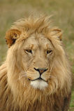 Lion. An old and lazy lion head portrait with a full mane and lazy expression in the face watching African wildlife a game park in South Africa Stock Photo