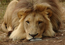 Lion. A big lazy inactive resting lion head portrait with big mane and tired expression in the face being bored and watching other African wildlife in a game Royalty Free Stock Photo