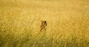 Lion-12. Lioness hunt from ambush, Serengeti reserves, Tanzania Royalty Free Stock Photography