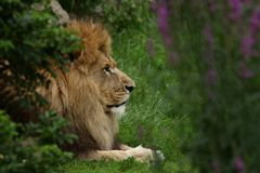 Lion. (Panthera leo) in grass Stock Image