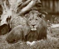 Lion Royalty Free Stock Photos