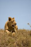 Lion. Young lion, Serengeti reserves, Tanzania Royalty Free Stock Image