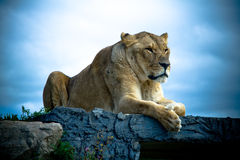 Lion. Femaie Lion resting on a rock Royalty Free Stock Photos