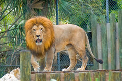 lion Royaltyfri Foto