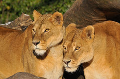 Lion. Two lions lookking for something Royalty Free Stock Photo