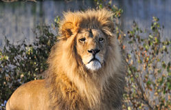 Lion. Male African Lion looking at the viewer Stock Photography