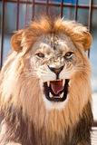 Lion. Picture of lion of high-res with an artistic background Royalty Free Stock Photo
