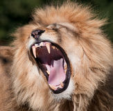 Lion Photo stock