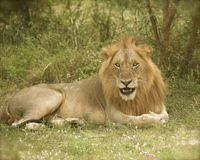 lion Royaltyfri Fotografi