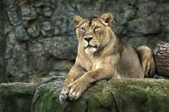 Free Lion Royalty Free Stock Photography - 1387887
