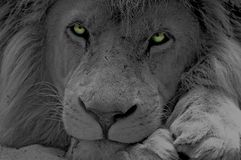 Lion. Black and white lion with coloured eyes Stock Photography