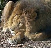 Lion 14 Royalty Free Stock Image