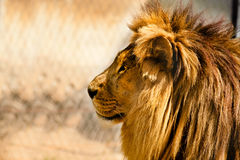 Lion. Beautiful African lion relaxing on the sun Stock Photography