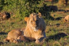 Lion Royalty Free Stock Image