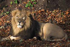 Lion. A male lion resting on a bed of leaves Stock Photo