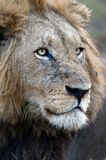 Lion. Portrait of an adult lion. Zambia. Africa Stock Images