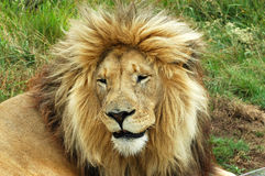 Lion. A beautiful lion with a big mane resting in a game park in South Africa Royalty Free Stock Photography