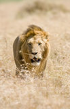 Lion. Male Lion walking through golden grass in Masai Mara Kenya Stock Photography