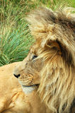 Lion. A lion head profile with a big mane watching other lions in a game park in South Africa Stock Photo