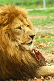 Lion. An active hungry old lion male Royalty Free Stock Photography