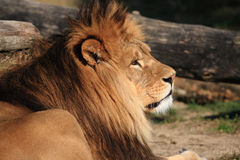 Lion. The King of Animals Royalty Free Stock Photo