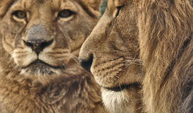 Lion. Female and male lions portrait Stock Image