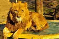 Lion. A lion sits down while watching the photographer attentively and asking - wanna be my lunch today Stock Image