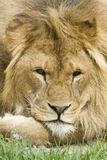 Lion. Relaxing after a long day hunting Stock Photos