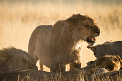 Lion. Angry lion eating, Etosha, Namibia Royalty Free Stock Photos