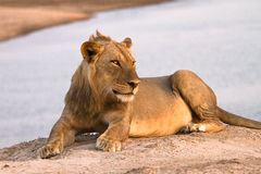 Lion. Wild lion , South Luangwa, Zambia Royalty Free Stock Photography