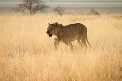 Lion. Wild lion hunting, Etosha, Namibia Royalty Free Stock Photography