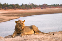 Lion. On river bank, South Luangwa, Zambia Royalty Free Stock Photography