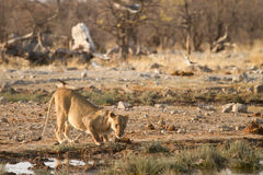 Lion. Wild lion drinking, Etosha, Namibia Royalty Free Stock Photo