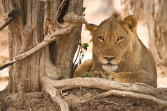 Lion. Portrait, safari South Luangwa, Zambia Africa Royalty Free Stock Photos