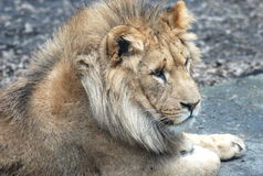 A lion Royalty Free Stock Photo