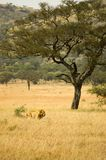 Lion-19. Lion in the grass, Serengeti reserves, Tanzania Stock Images