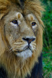 Lion. Looking royalty free stock photography